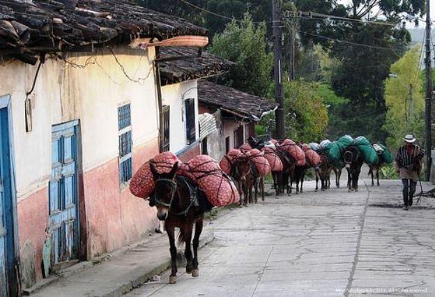 Colombia - Recua de mulas. Sonson Antioqueña.