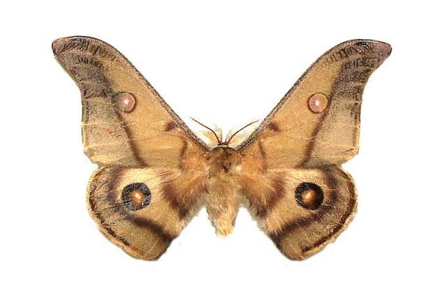 opodiphthera_eucalypti_02.jpg