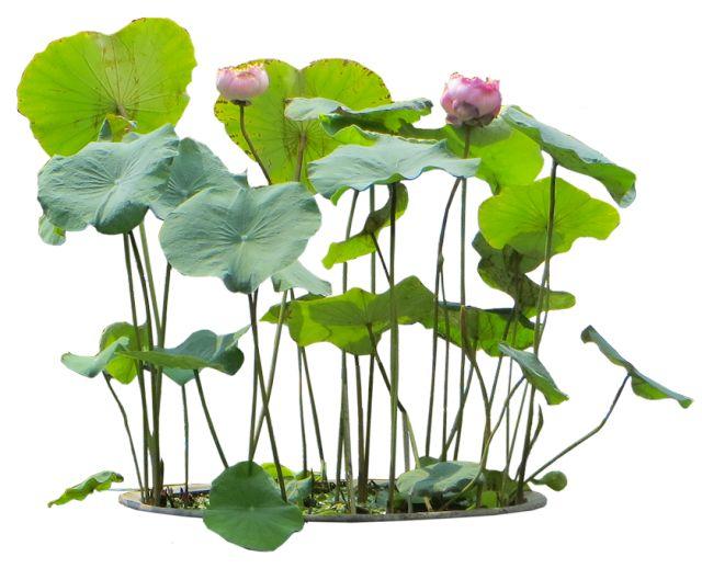 10 Free Plants & Flowers PNG Images- at Dzzyn.com - Aquatic Plant