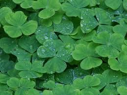 Clover makes you want to find the four leaf: Four Leaf Clovers, Ireland, Dew Drop, St. Patrick'S Day, Emeralds Isle, Irish, Leaves, Shades Of Green, St Patrick'S Day