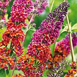 Kaleidoscope Butterfly Bush - Oh. My. God.  IT'S A ZONE 5 YEEESSSSS!!!!!!!!!!!!!!!!!!
