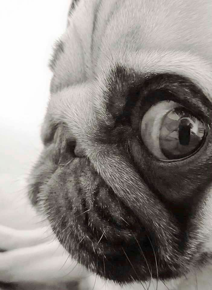 Pug. Looking. #attention