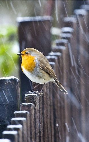 Little bird in the rain