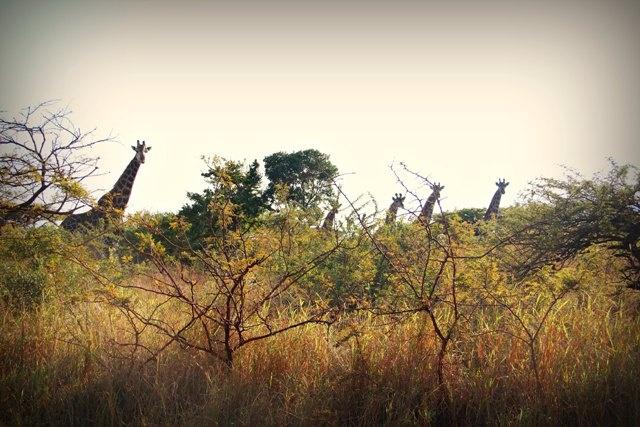 6 to 10 Giraffe were spotted walking at Ubizane. So beautiful!