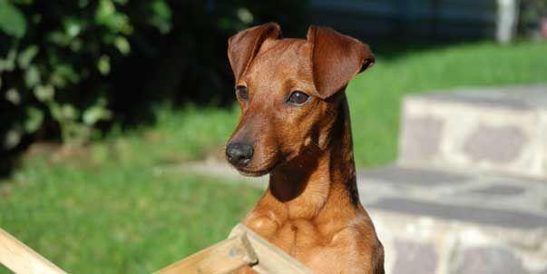 71 best min pins images on pinterest min pin puppies for Pinscher medio