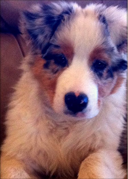 Wild Wings Australian Shepherds - Australian Shepherd Puppies For Sale