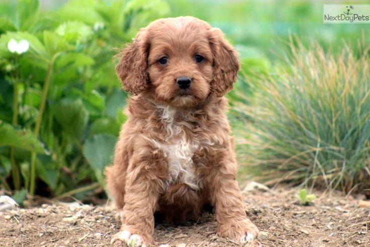 Meet Gus a cute Cockapoo puppy for sale for $595. Gus - Cockapoo Male