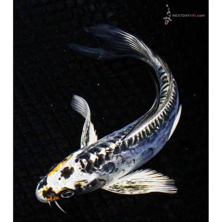 23 best koi images on pinterest backyard ponds koi Outdoor pond fish for sale