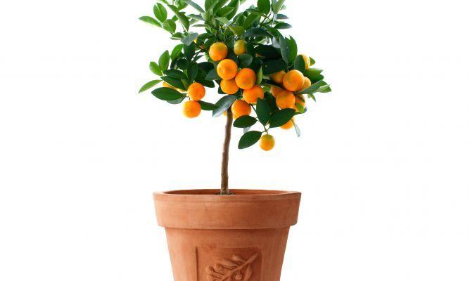 Árboles frutales enanos
