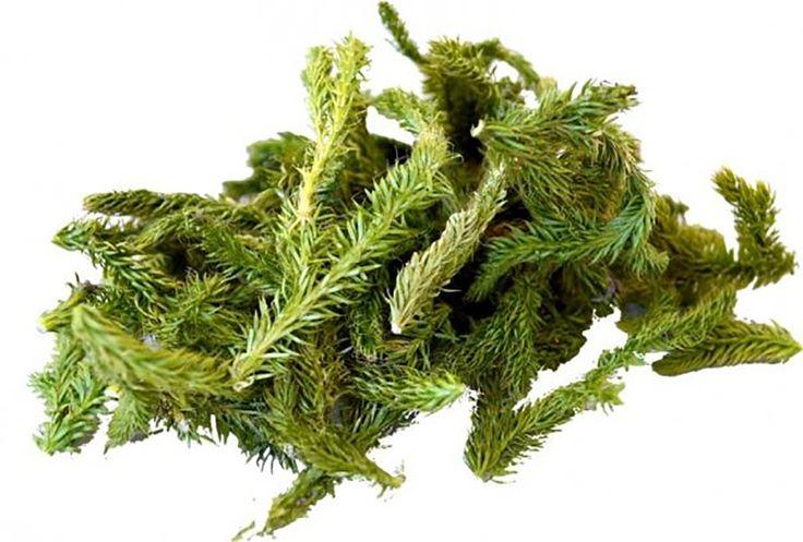 Pedicuța este o plantă care poate fi întâlnită sub o variație mare de nume, așa cum ar fi bunceag, cornățel, cornișor, netota, crucea-pământului, talpa-ursului, brădișor sau bradul ursului. Este este una din plantele amintite în Biblie, care tratează artrita și alte boli articulare. Planta este asemănătoare mușchiului. Pedicuța matură formează vara pistiluri gălbui cu polen care este folosit în scopuri homeopatice. Puteți găsi această plantă în munți în partea de nord a lor la o altitudine…