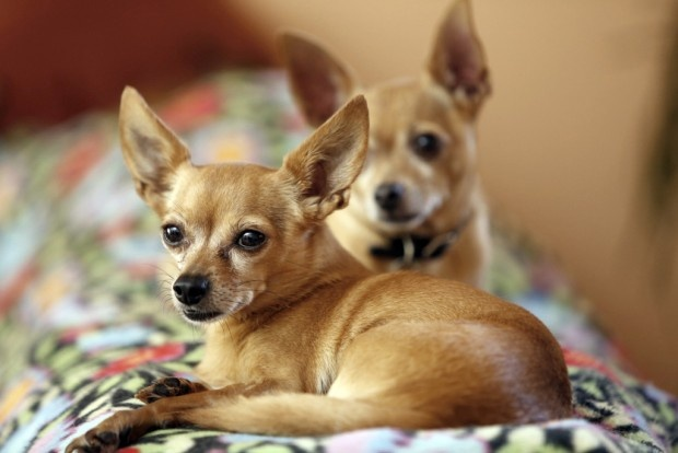 Twins... | Chihuahua breeds, Chihuahua love, Chihuahua dogs