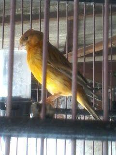 Hobi Burung: Manfaat Kroto Untuk Burung Kenari