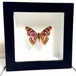 Vlinder in lijst Kleine Weerschijnvlinder. In deze lijst zit een Apatura Ilia vlinder. In Nederland kennen we deze vlinder onder de naam Kleine Weerschijnvlinder. Deze dagvlinder komt voor in Centraal en Zuid Europa en een verdwaalt exemplaar wordt wel eens in Nederland gespot.