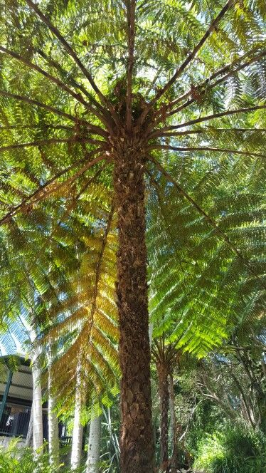 Lush tree ferns around our tennis court at Montville Mountain Inn Resort, Queensland