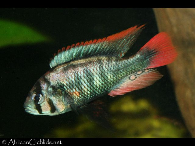 Enterochromis sp. 'blue obliquidens' - Lake Victoria Cichlids