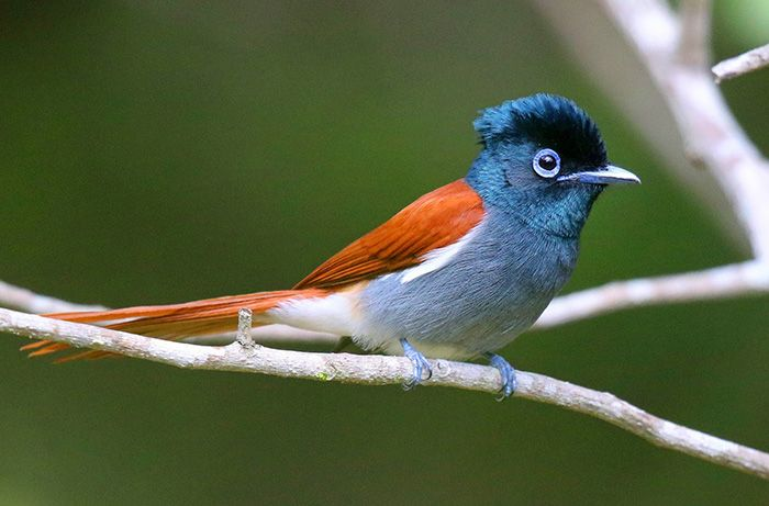 A female paradise flycatcher. These beautiful inhabitants of riparian vegetation are estimated to occur at a density of one pair every 150m in suitable habitat. the male of the species looks almost identical but has a much longer tail. Photograph by Anthony Goldman