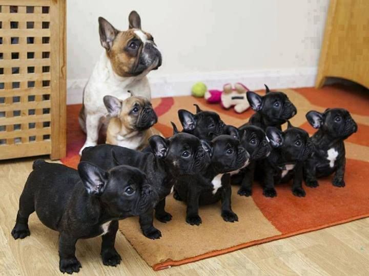 TEN French bulldogs, being the cutest French bulldogs in the entire world