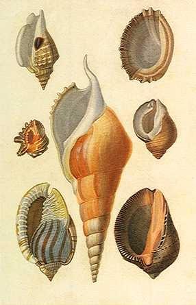 Seashells #nature #shells #scientific #illustration
