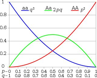 Hardy-Weinberg: Hardy–Weinberg principle for two alleles: the horizontal axis shows the two allele frequencies p and q and the vertical axis shows the genotype frequencies. Each graph shows one of the three possible genotypes.