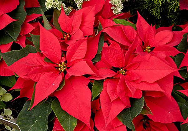 or red poinsettia - photo #15