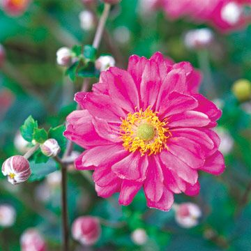 """Common Garden Flowers Pink 101 best """"perennials""""  plants that come back every year"""