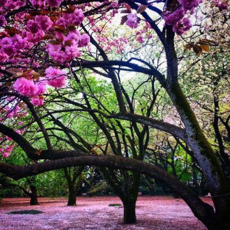 sakura-em-toquio - Parque Shinjuku Gyoen - japão