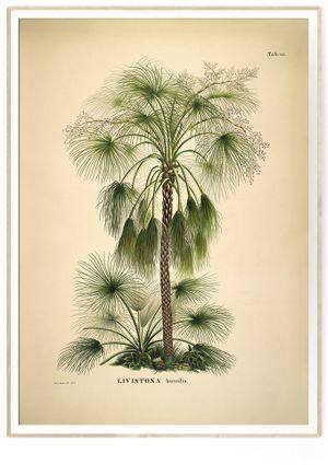 The Dybdahl Co LIVISTONA HUMILIS, Poster 50x70