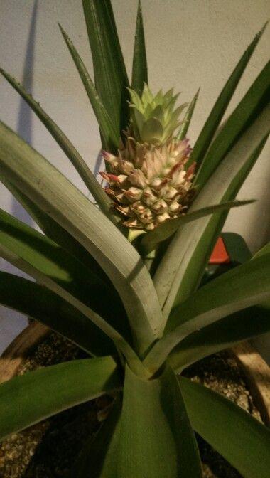Projekt gro din egen ananas