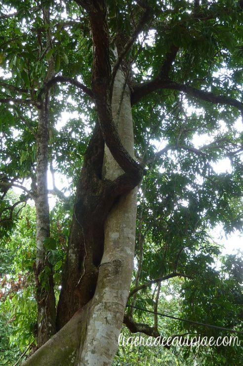 Weird trees, Minca, Santa Marta, Colombia