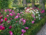 """Roses make excellent hedges and are more interesting than most non-flowering hedges."""