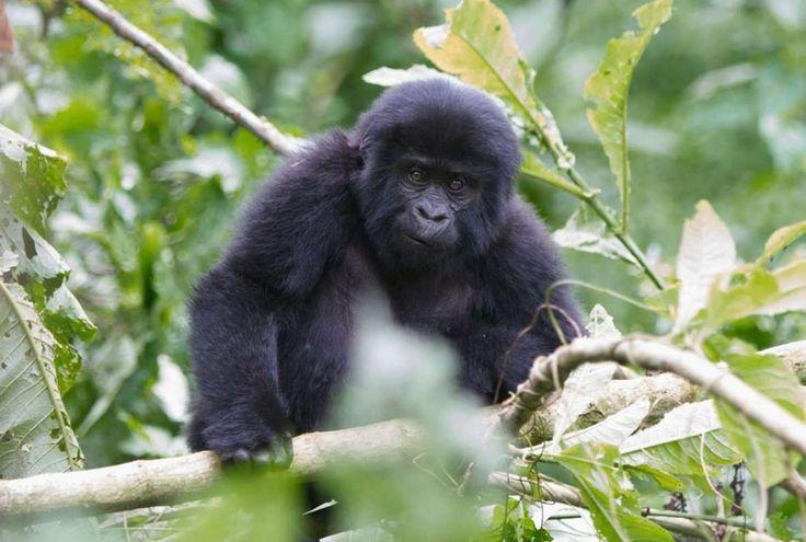 Baby gorilla in Oeganda <3