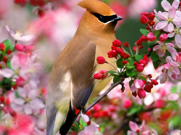 cedar waxwing    Please SHARE our Wild for Wildlife and Nature Page