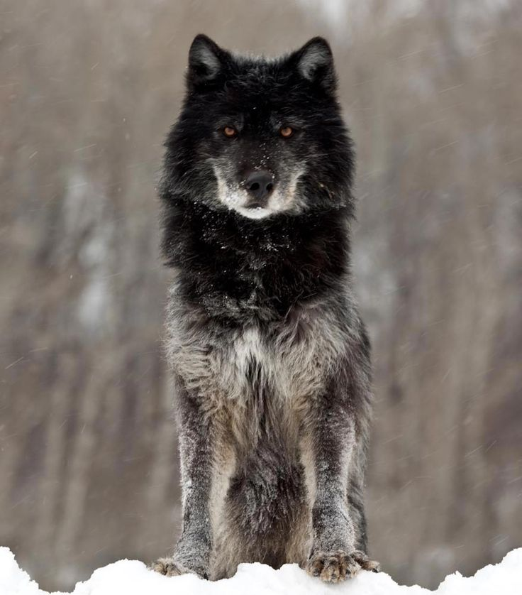 Black Wolf Pack | This wolf was photographed near West Yellowstone in winter. The wolf ...