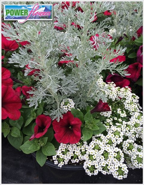 garden container amazing 8 with trailing berry petunias white alyssum and artemsia garden. Black Bedroom Furniture Sets. Home Design Ideas