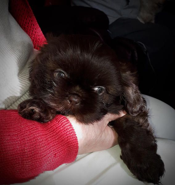 Miniture Shih Tzu Imperial Chocolate Puppies Ready Now In