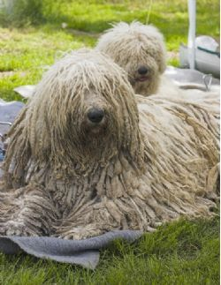 These dogs are so strange looking! Komondor - Info & Breed Guide from PetCareRx.com