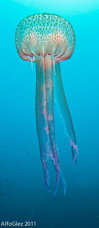 "Pelagia noctiluca, (Águilas, Spain) by Alfonso Gonzalez: In Latin, Pelagia means ""of the sea"", nocti stands for night and luca means light and As its name implies P. noctiluca has the ability to bioluminesce. Light is given off in the form of flashes when the medusa is stimulated by turbulence created by a ship's motion or by waves. This flashing is only of relatively short duration and gradually fades. http://en.wikipedia.org/wiki/Pelagia_noctiluca #Jellyfish"