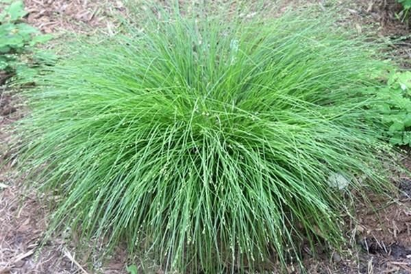 Carex radiata Halifax (Halifax Radiate Sedge) : Carex radiata, aka Eastern star sedge, hails from much of the eastern part of North America from Canada south through Alabama, yet few gardeners ha...