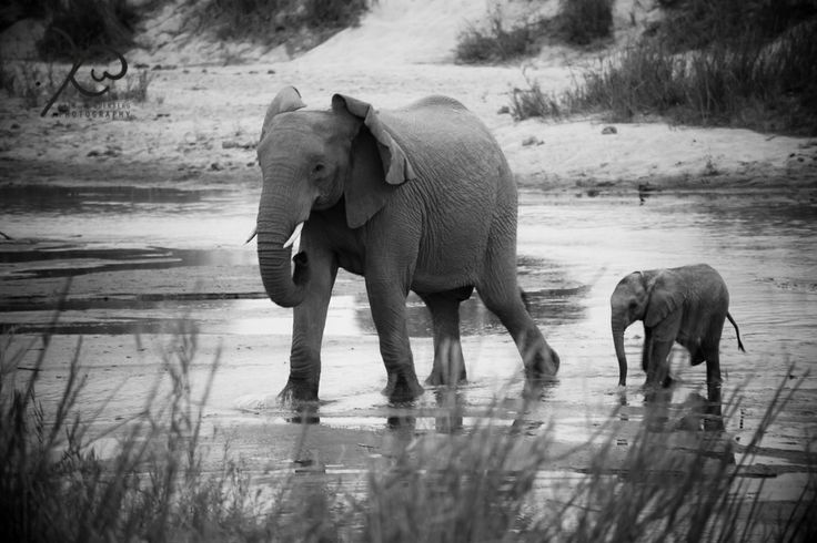 Mother and Baby Elephant cross the Sabi River