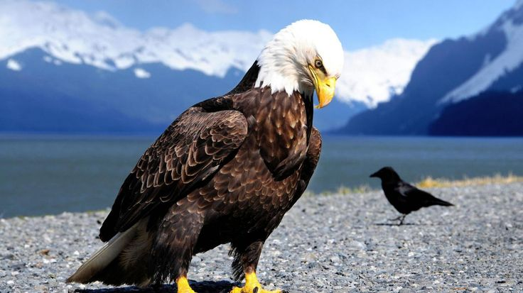 Bald Eagle VS Small Crow  www.pictureofcats.net