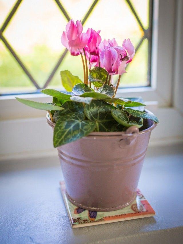 Душистый горошек – выращивание из семян, когда сажать