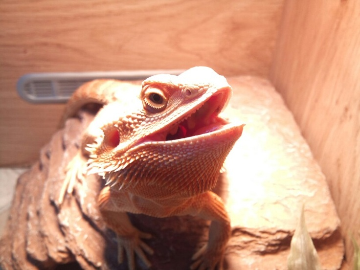 242 Best Images About The Love For Bearded Dragons On Pinterest Reptile Tanks Pets And Grumpy Face