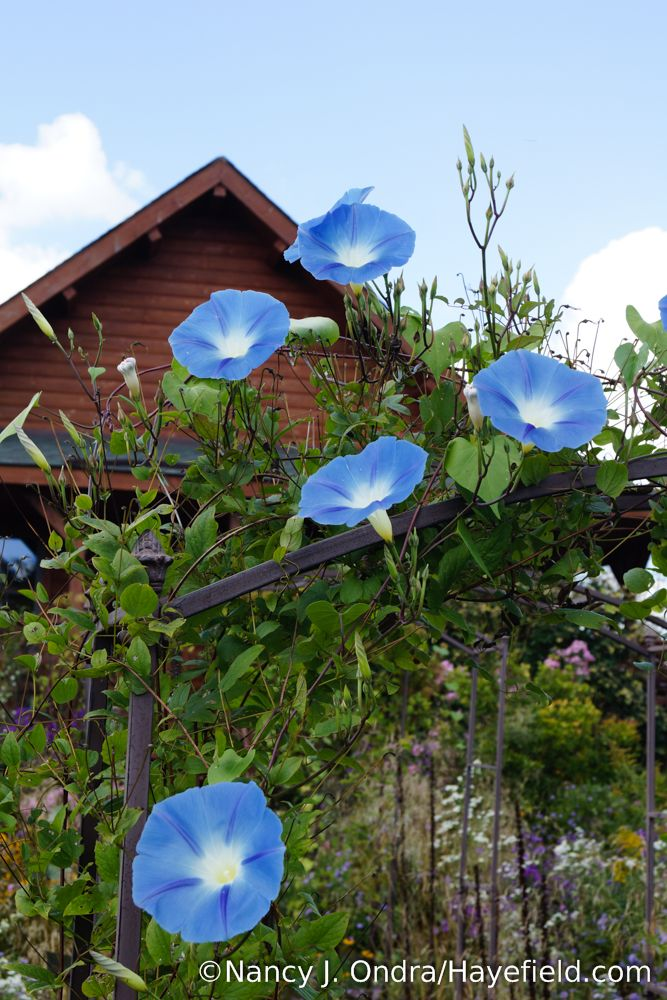 Heavenly Blue Morning Glory Ipomoea Tricolor Nancy J Ondra Hayefield Com Blue Morning Glory Morning Glory Flowers Nature