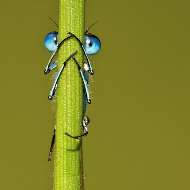 Photographer Tony Flashman spotted the common blue damselfly's piercing eyes as he crawled around meadows at Fordwich Lakes, near Canterbury, Kent.