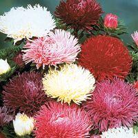 Graines de fleurs REINE MARGUERITE PAW (Callistephus sinensis ou aster chinensis) - Graineterie A. DUCRETTET