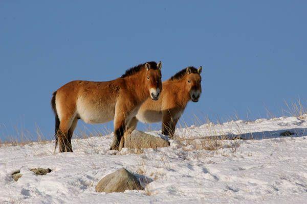 Takhi Horses Or Przewalski Horses In Khustai National Park Mongolia Cheval De Przewalski Cheval Rando Cheval