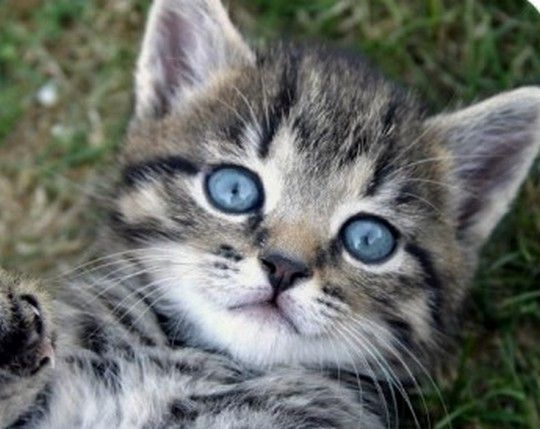 Grey Tabby Cat with Blue Eyes