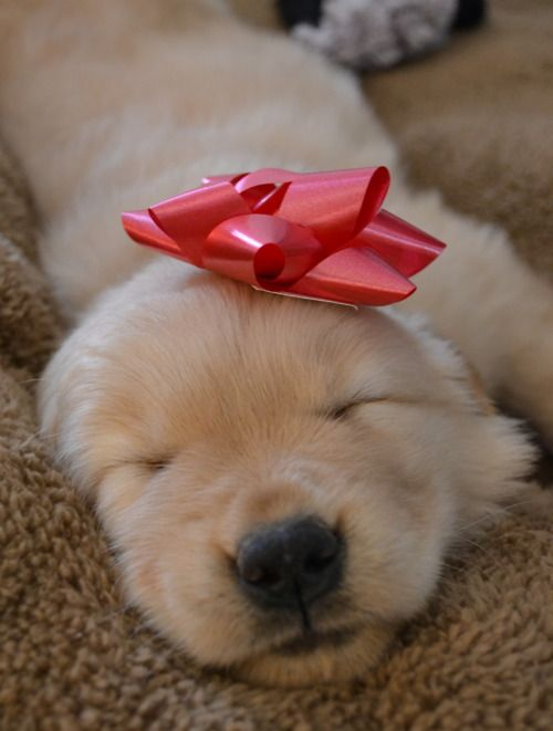 A present: Animals, Dogs, Sweet, Golden Retrievers, Puppys, Adorable, Presents, Golden Retriever Puppies