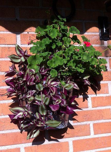Pelargon blommar inte så mycket men det det är vackert ändå.