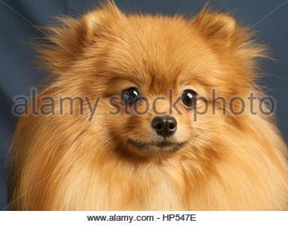 Pomeranian Spitz Toy Dog Breed Stock Photo, Royalty Free Image ...